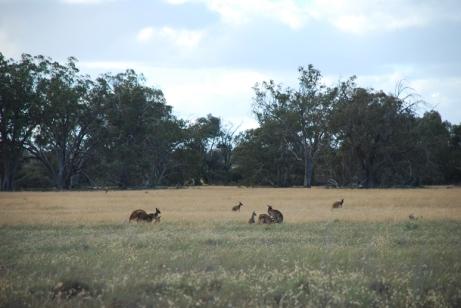 Western grey kangaroos (Macropus fuliginosus) are abundant in parts of the park